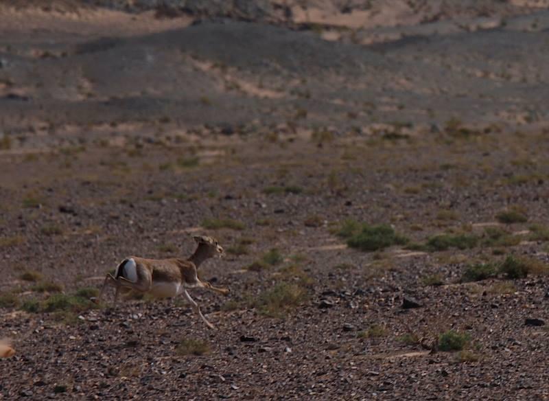 Gazelle auf der Flucht ein berühmtes mongolisches Tier