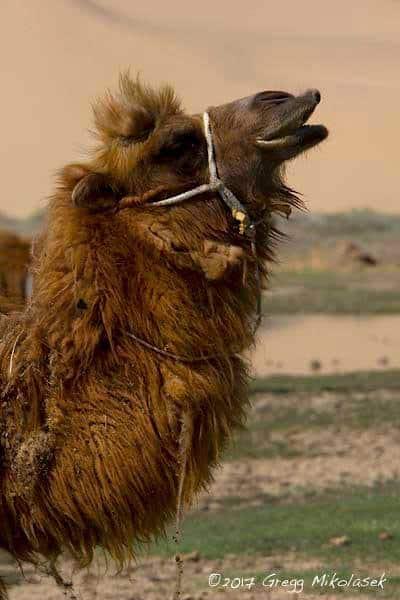 Tiere in der Mongolei: Ein Kamel in der Gobi