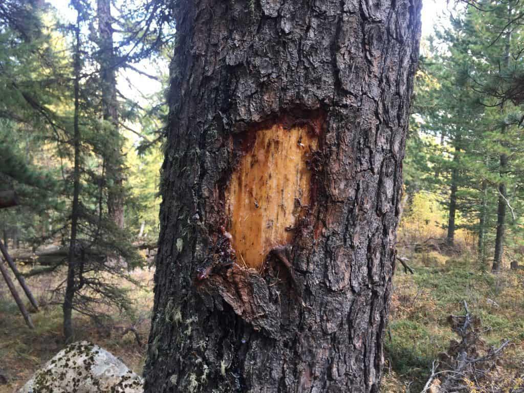 Schäden an einer mongolischen Pinienkiefer - tausende Bäume haben diese Wunden