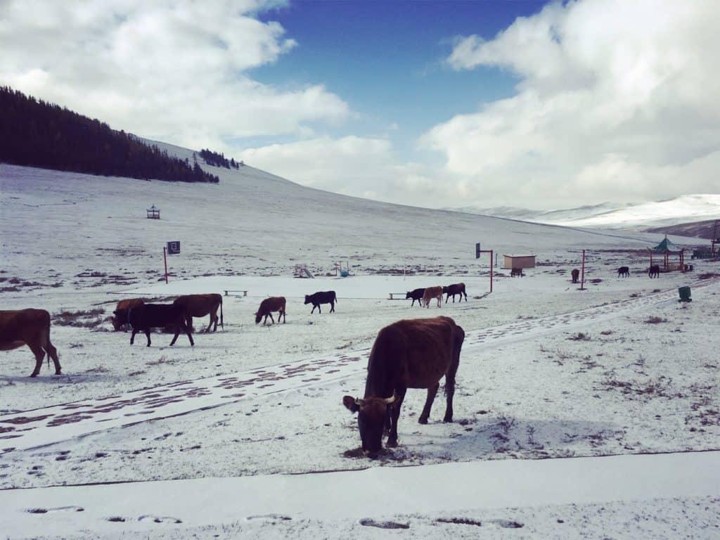 Schnee und Kühe in der Zentralmongolei