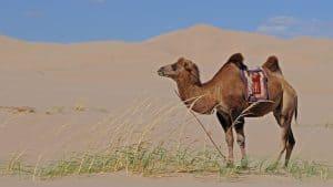 Reiten auf einem Kamel in der Mongolei